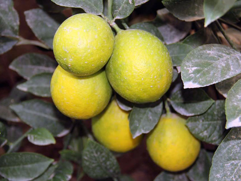 Лимоны в стране подорожали за месяц почти на 50%