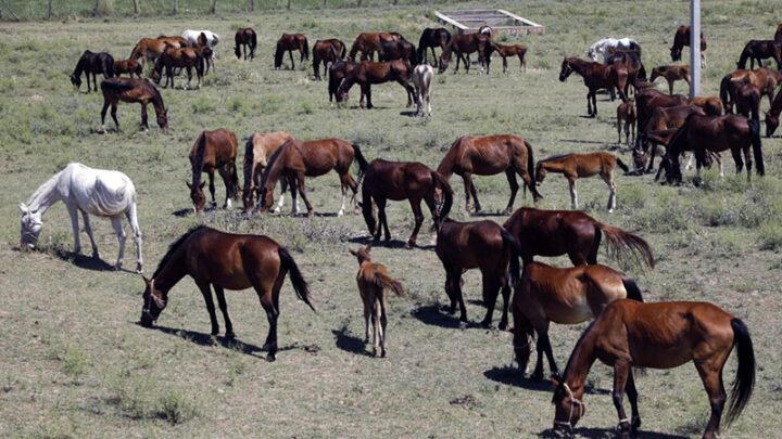 Лошадей на 150 млн тенге похитили скотокрады в Туркестанской области