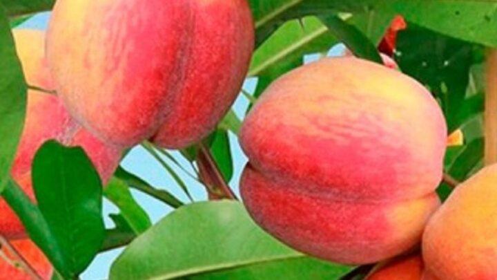 Персики начали собирать в Сарыагашском районе Туркестанской области