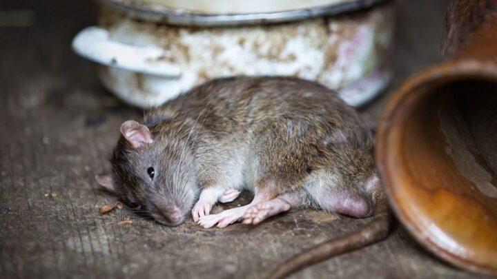 На борьбу с крысами в Шымкенте потратят 49 млн тенге