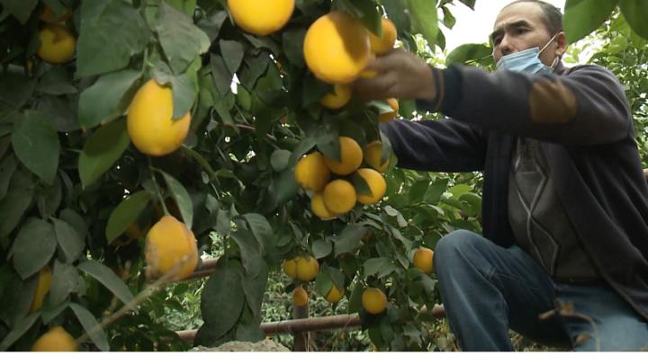 Лимоны, выращенные в Туркестанской области, стоят в два раза дешевле импортных