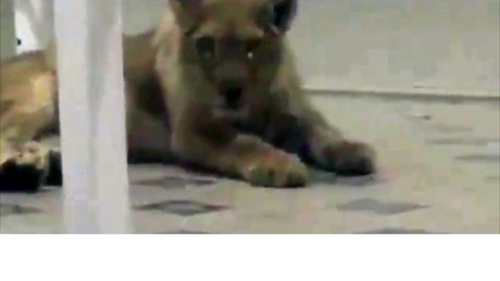 Львенка, которого увидели в шымкентской гостинице, разыскивают полицейские