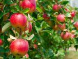 Яблочный пояс появится у Шымкента
