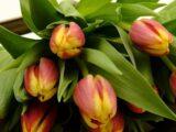 """тюльпаны сорта """"Грейг"""""""
