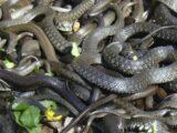 2 раза за сутки спасатели Шымкента выезжали на отлов змей