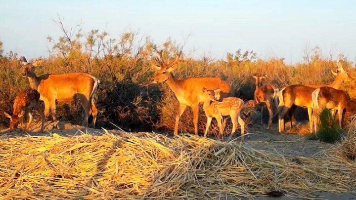 В Казахстане произвели третий выпуск бухарского оленя